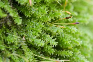 Photo of the rounded tongue moss when wet with leaves spread away from stem.