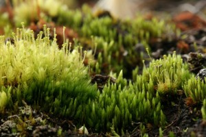 An example of a bryophyte, the ribbed bog moss, Aulacomnium palustre, with stalks of propagules that will be dispersed for asexual reproduction. From a wet meadow at Waldo, Marion County, Ohio. April 21, 2006. Photo by Bob Klips.