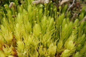Photo of plants of the ribbed bog moss, Aulacomnium palustre, with stalks that have clusters of asexual propagules at the tip.