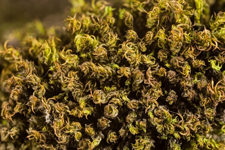 Photo of moss plant when dry with tightly curled leaves.