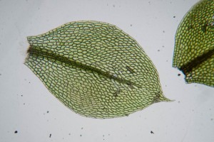 A leaf of the moss, Bryum flaccidum, showing hexagonal leaf cells. Moss and liverwort leaves are only one cell layer thick, thus each individual leaf cell is easily visible, as seen here viewed with the compound microscope. The shape and size of the leaf cells are often used to distinguish moss species.