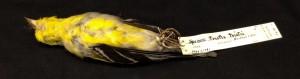 American Goldfinch skin.