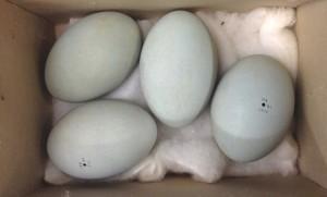 Great Blue Heron eggs