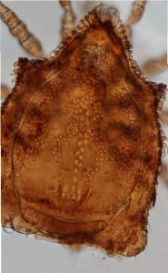 Eutrachytes sp. (Uropodina), stacked image of dorsum