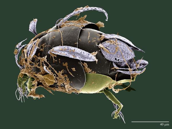 Excelsotarsonemus sp. (Tarsonemidae), colorized LT-SEM