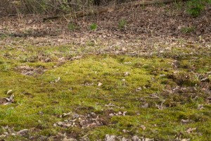 Photo of the habitat of the pale plait moss, Calliergonella lindbergii. The green mat on the forest floor is gametophyte.