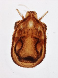 Macrodinychus sp. (Uropodina), stacked image at low magnification (40x)