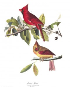 Northern Cardinal - plate in Birds of America by John James Audubon