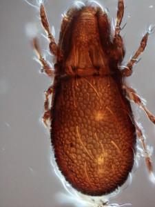 Nanhermannia sp. (Oribatida) stacked image, 40x