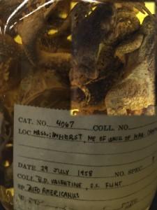 American Toads in a jar.