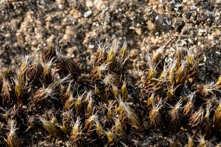 Photo of dry plants of the bristly haircap moss, Polytrichum piliferum, showing leaves that are upright and closely erect with long white hairs at the tips. The white hairs reflect light to help prevent water loss in the plants.