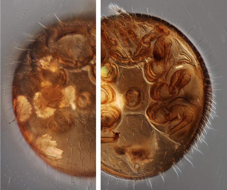 Trichocylliba n.sp. (Uropodina), male, stacked image, 200x