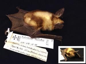 A Pallid Bat