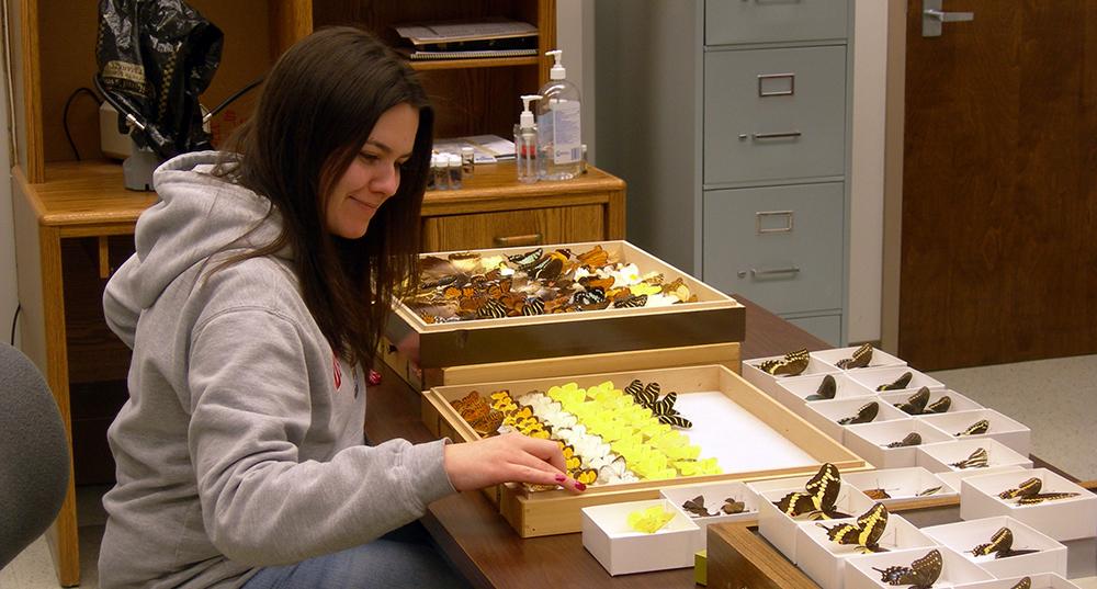 Sara Hemly preparing butterfly display. 2008