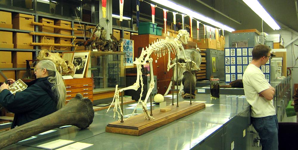 Cheetah skeleton at the Tetrapod collection. 2010
