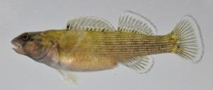 Bluebreast Darter, female