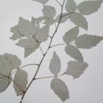 A specimen of a leafy stem of Black Raspberry
