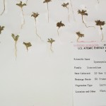 A specimen with seedlings of a species from the Daisy family (Asteraceae)