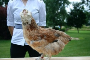 Ameraucana Chicken