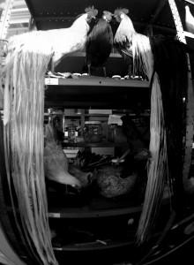 Long tails of Onagadori Chickens