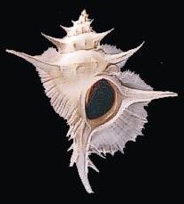 Siratus alabaster (Reeve, 1845) Philippines