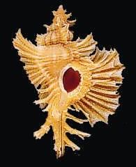 Chicopinnatus celinamarumai (Kosuge, 1980) Philippines