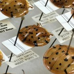 Tortoise beetles in the collection