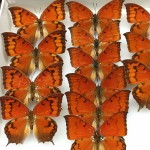 Snapshot of collection butterfly specimens
