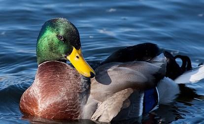 Male Mallard in water