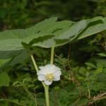 Podophyllum2