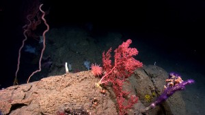 Benthic cnidarians are common in deep-sea canyons and seamounts. Here, octocorals, cup corals, and anemones share a rock at 1,459 meters depth in Hendrickson Canyon. Image courtesy of NOAA Okeanos Explorer Program, Our Deepwater Backyard: Exploring Atlantic Canyons and Seamounts.