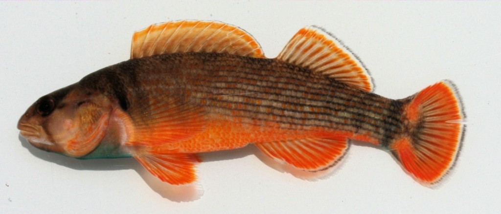 Etheostoma bellum, Orangefin Darter.