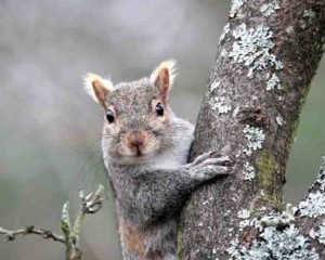 Image of grey squirrel