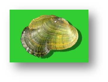 Ahlstedt's Oystershell Tennessee River system Federally endangered