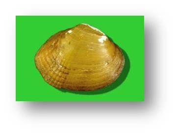 Southern Acornshell Coosa River system Possibly extinct