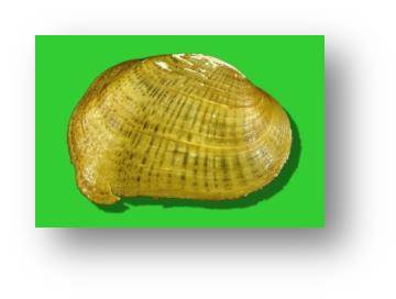Southern Combshell Tombigbee River system Federally endangered