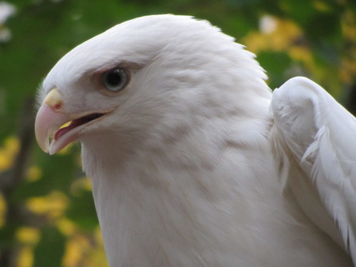 Leucistic Red-Tail Hawk (Stephanie Malinich, 2014)