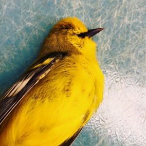 Yellow colored warbler with black bill