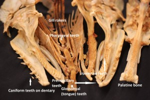 Esox masquinongy teeth