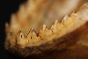 OSUM Study Specimen Piranha Iouitos Peru downsized