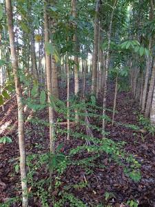 Mahogany plantation