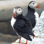 Two Atlantic Puffins on Eastern Egg Rock