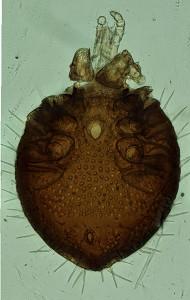 Uropodid mite from Australia