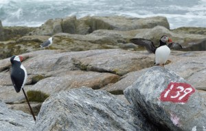Atlantic Puffin and decoy on Eastern Egg Rock