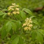 Aesculus glabra (Ohio Buckeye; Sapindaceae), flowering in spring.