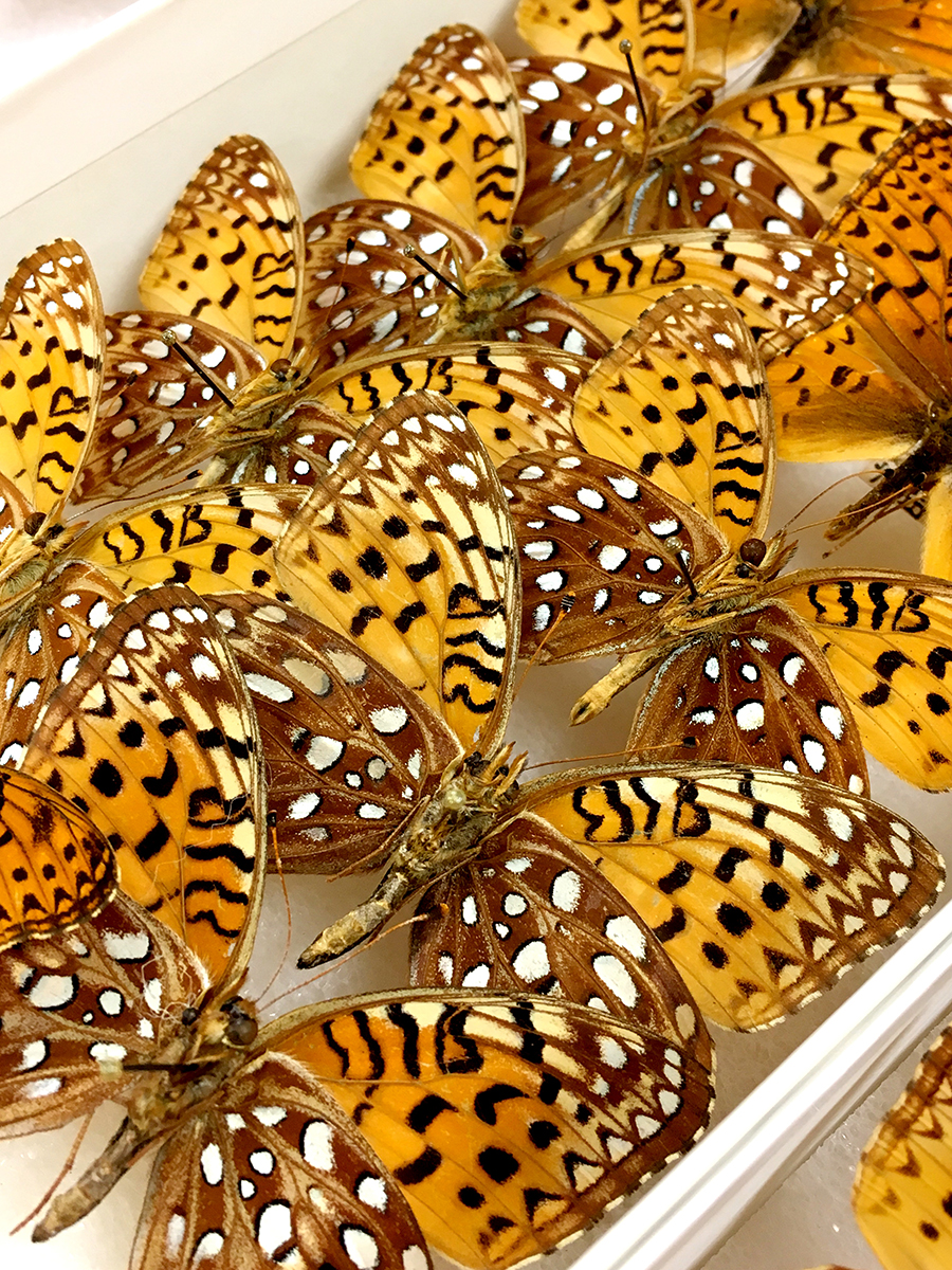 Butterfly specimens at the Triplehorn Insect Collection