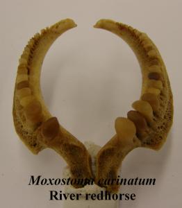MoxostomacarinatumRiverRedhorsePharyngealTeeth