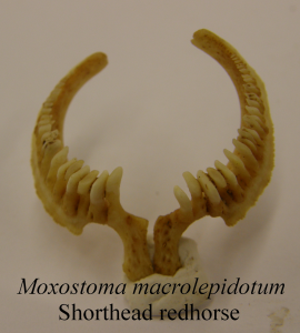 MoxostomamacrolepidotumShortheadRedhorsePharyngealTeeth