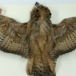Examining a large Great Horned Owl before making it into a parts specimen.