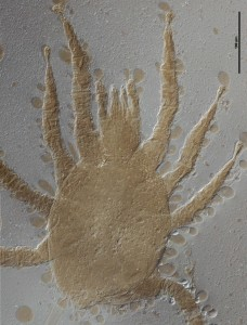 Image of a female of Dicrocheles phalaenodectes, the moth ear mite